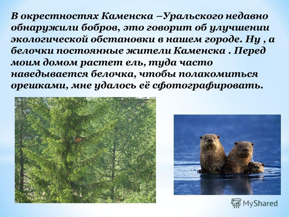 В окрестностях Каменска –Уральского недавно обнаружили бобров, это говорит об улучшении экологической обстановки в нашем городе. Ну, а белочки постоянные жители Каменска. Перед моим домом растет ель, туда часто наведывается белочка, чтобы полакомитьс