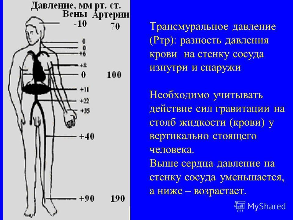 Трансмуральное давление (Ртр): разность давления крови на стенку сосуда изнутри и снаружи Необходимо учитывать действие сил гравитации на столб жидкости (крови) у вертикально стоящего человека. Выше сердца давление на стенку сосуда уменьшается, а ниж
