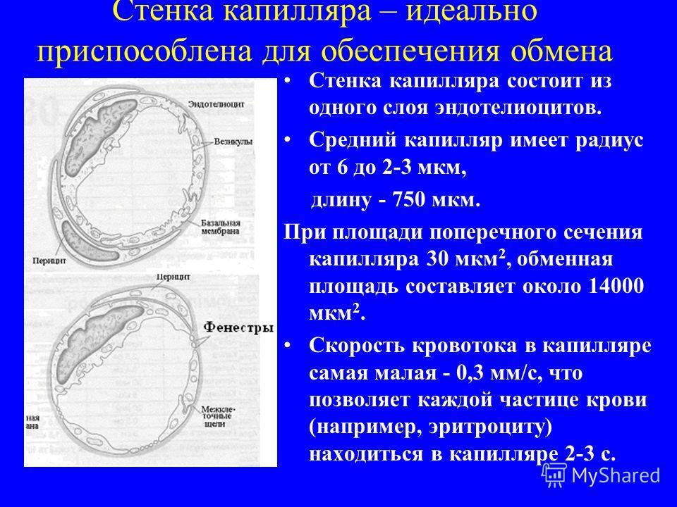 Стенка капилляра – идеально приспособлена для обеспечения обмена Стенка капилляра состоит из одного слоя эндотелиоцитов. Средний капилляр имеет радиус от 6 до 2-3 мкм, длину - 750 мкм. При площади поперечного сечения капилляра 30 мкм 2, обменная площ