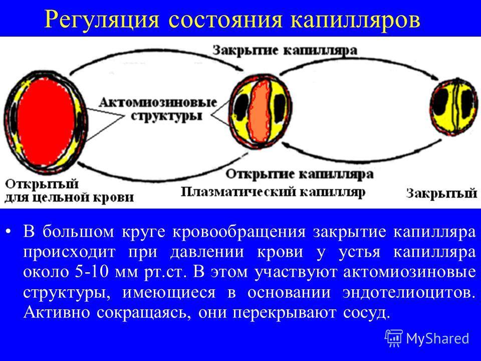 Регуляция состояния капилляров В большом круге кровообращения закрытие капилляра происходит при давлении крови у устья капилляра около 5-10 мм рт.ст. В этом участвуют актомиозиновые структуры, имеющиеся в основании эндотелиоцитов. Активно сокращаясь,