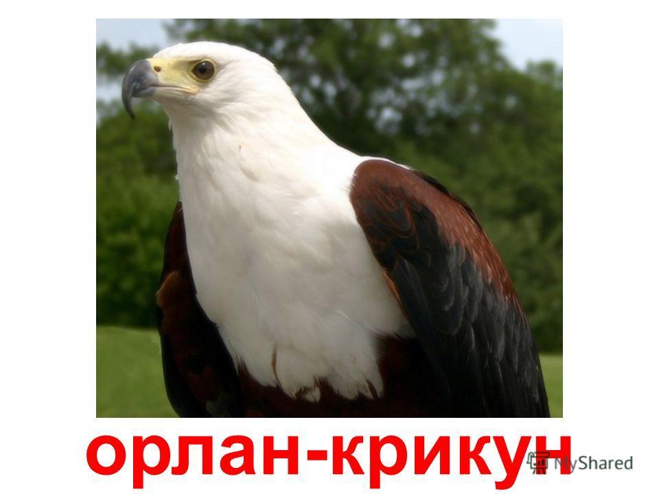білоголовий орлан