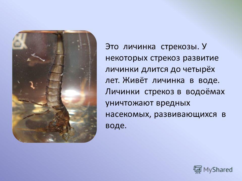 Это личинка стрекозы. У некоторых стрекоз развитие личинки длится до четырёх лет. Живёт личинка в воде. Личинки стрекоз в водоёмах уничтожают вредных насекомых, развивающихся в воде.