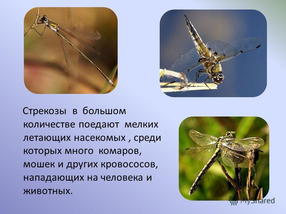 Стрекозы в большом количестве поедают мелких летающих насекомых, среди которых много комаров, мошек и других кровососов, нападающих на человека и животных.