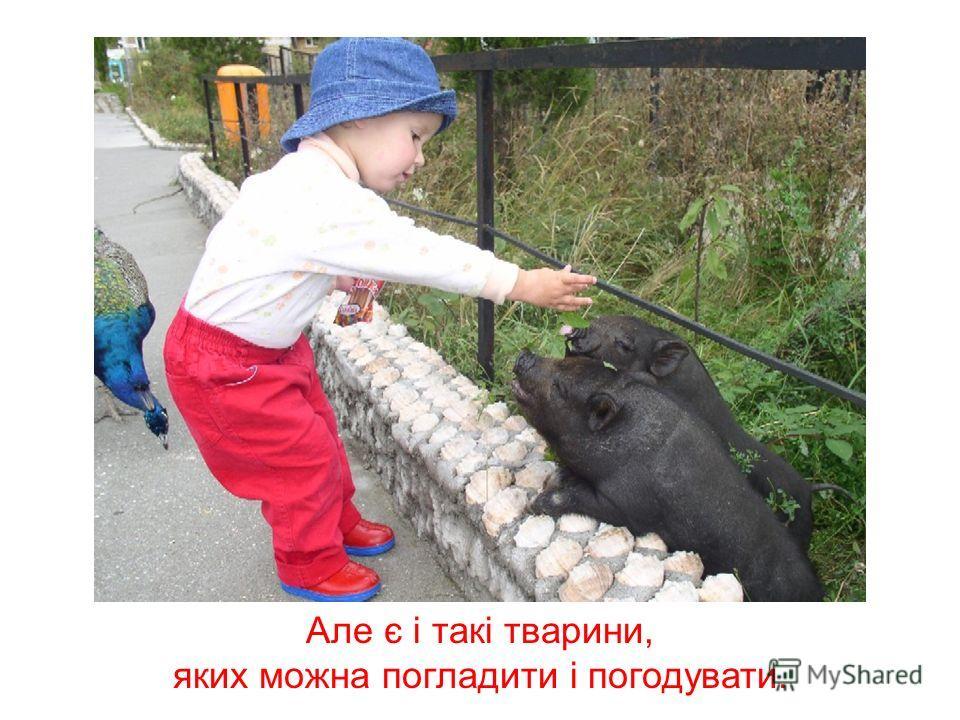 Правда, багато тварин у зоопарку знаходяться за ґратами, тому що вони можуть заподіяти людині шкоду – подряпати або навіть вкусити.