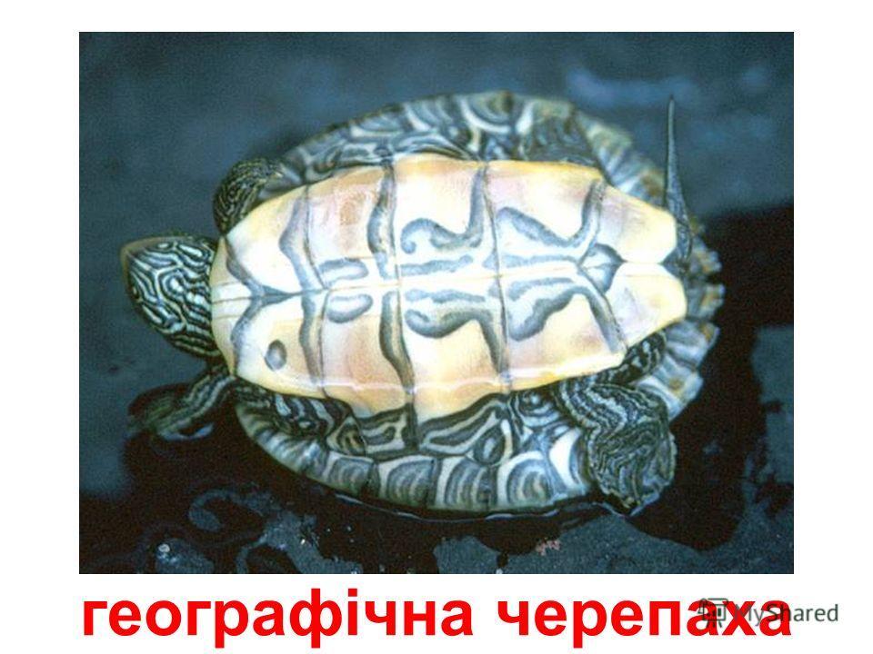 черепаха, що замикається