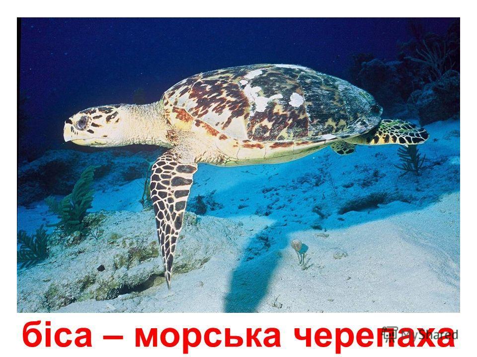 географічна черепаха