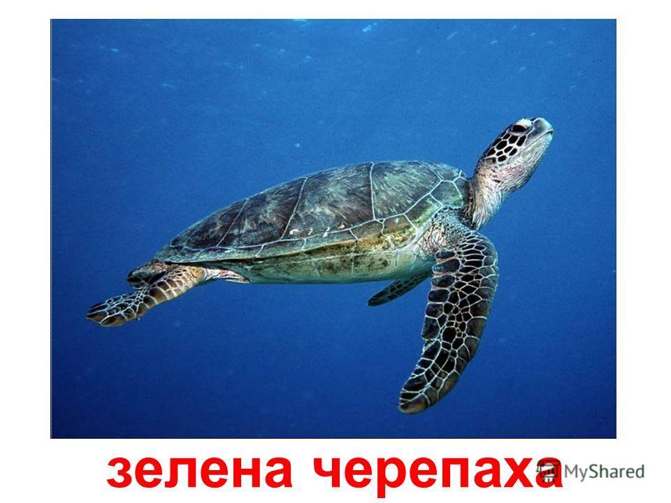 біса – морська черепаха