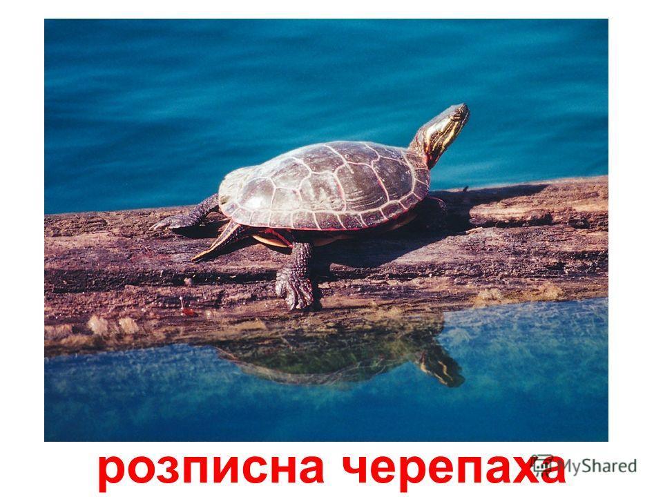 зелена черепаха
