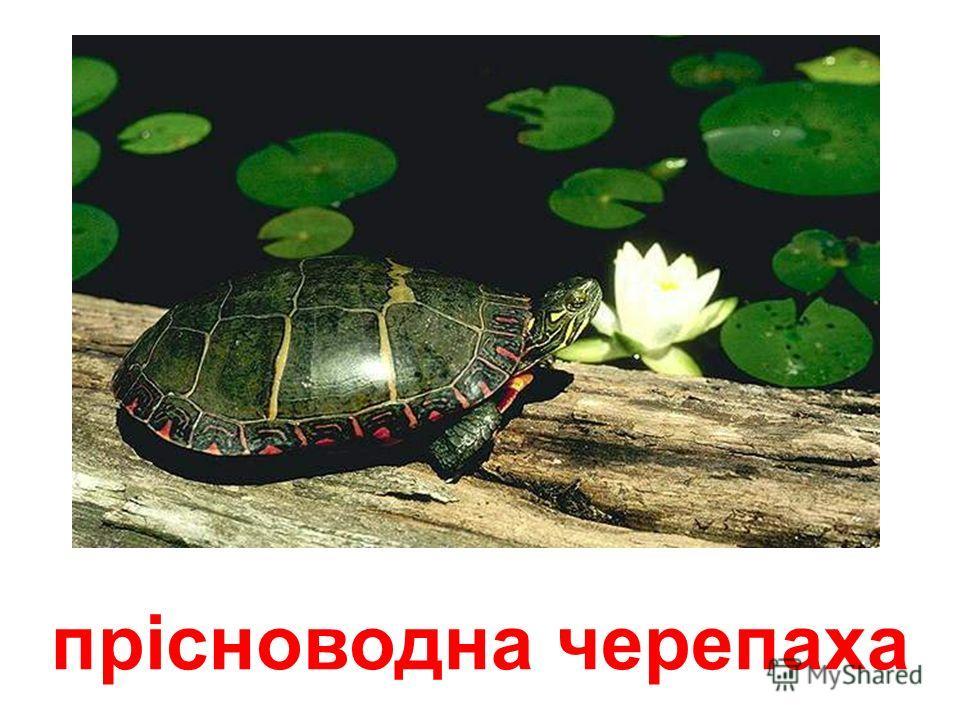 коробчата черепаха