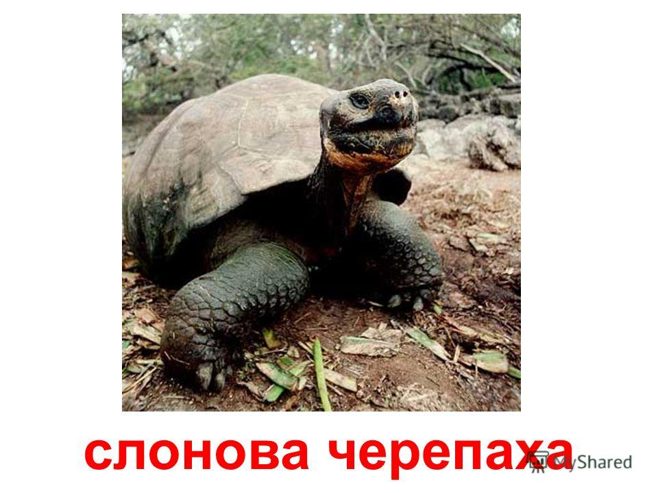 велетенська черепаха