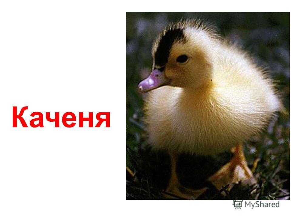Озерна качка