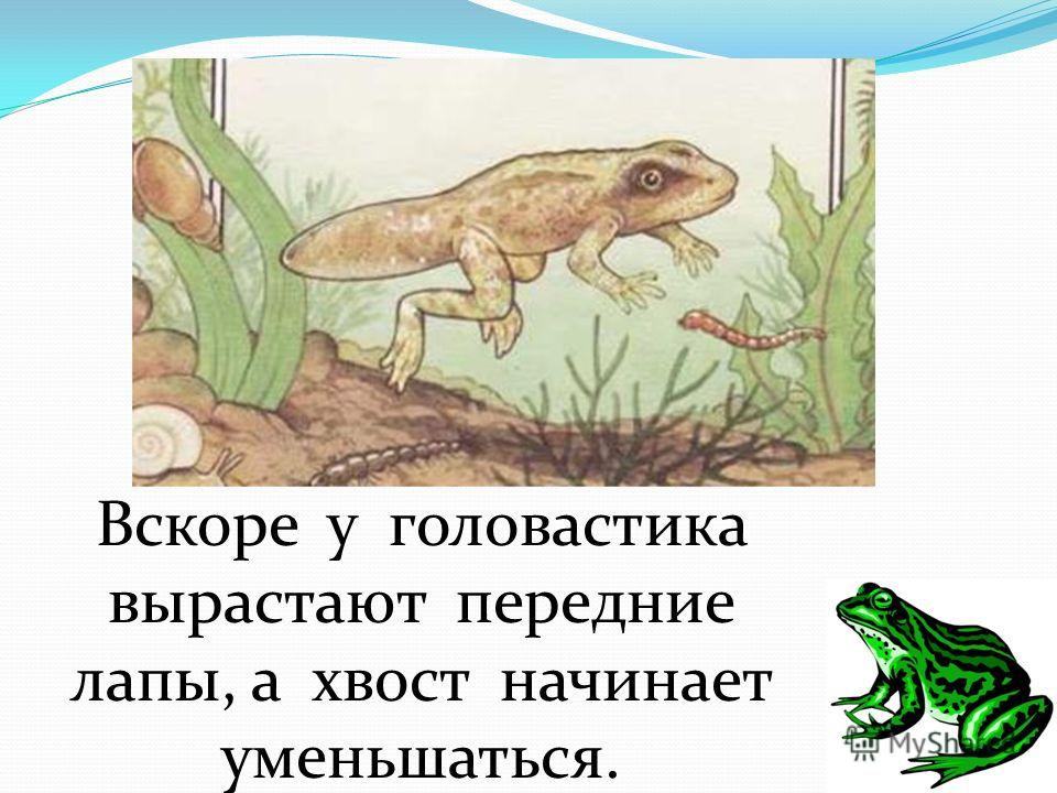 Вскоре у головастика вырастают передние лапы, а хвост начинает уменьшаться.