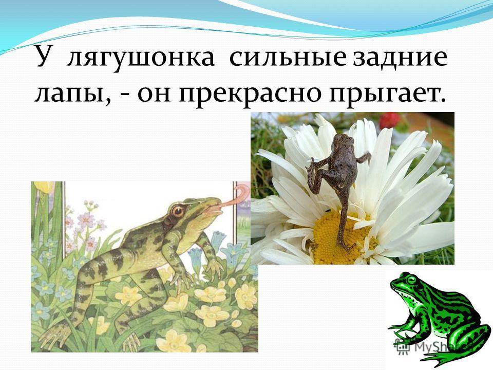 У лягушонка сильные задние лапы, - он прекрасно прыгает.