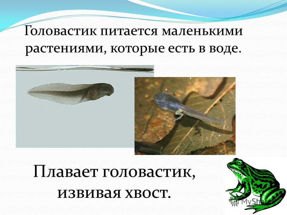 Головастик питается маленькими растениями, которые есть в воде. Плавает головастик, извивая хвост.