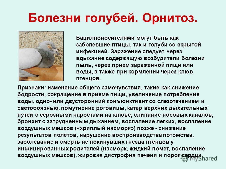 Болезни голубей. Орнитоз. Бациллоносителями могут быть как заболевшие птицы, так и голуби со скрытой инфекцией. Заражение следует через вдыхание содержащую возбудители болезни пыль, через прием зараженной пищи или воды, а также при кормлении через кл