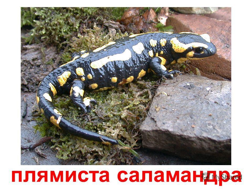 чорна саламандра