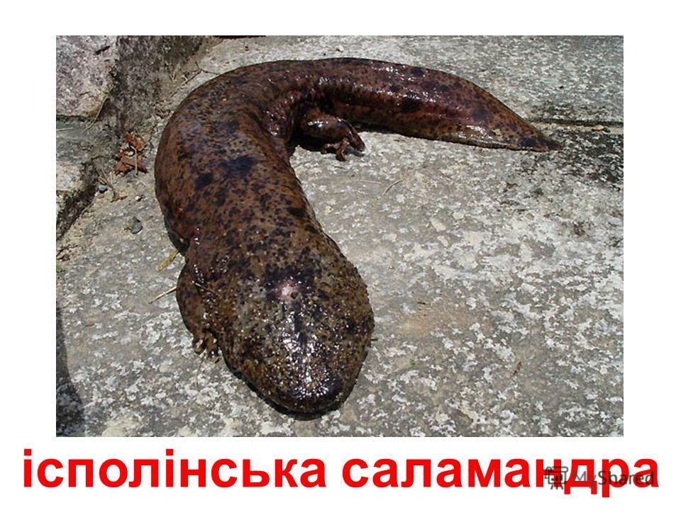 червоноспина саламандра