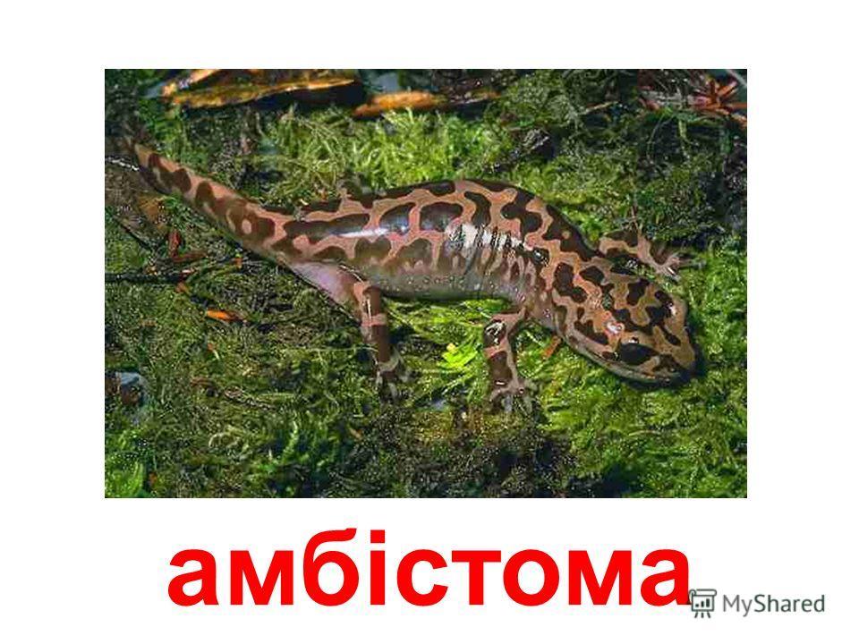 ісполінська саламандра