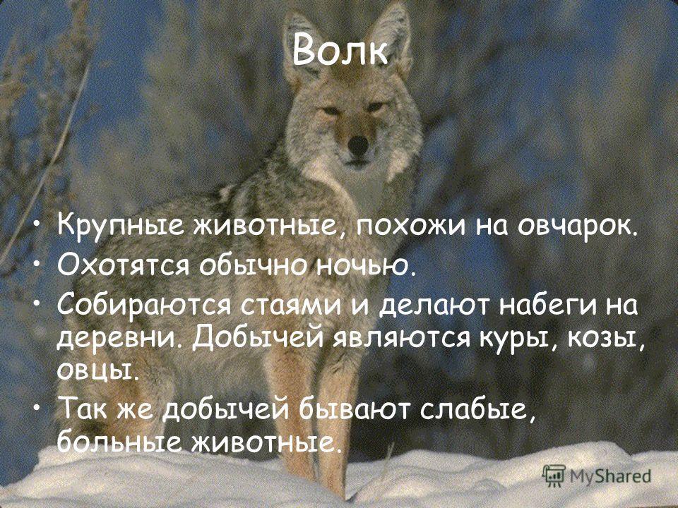 Волк Крупные животные, похожи на овчарок. Охотятся обычно ночью. Собираются стаями и делают набеги на деревни. Добычей являются куры, козы, овцы. Так же добычей бывают слабые, больные животные.
