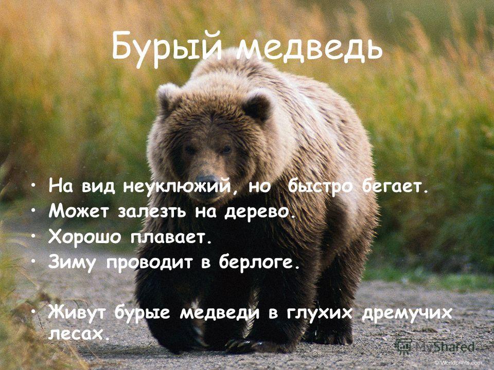 Бурый медведь На вид неуклюжий, но быстро бегает. Может залезть на дерево. Хорошо плавает. Зиму проводит в берлоге. Живут бурые медведи в глухих дремучих лесах.