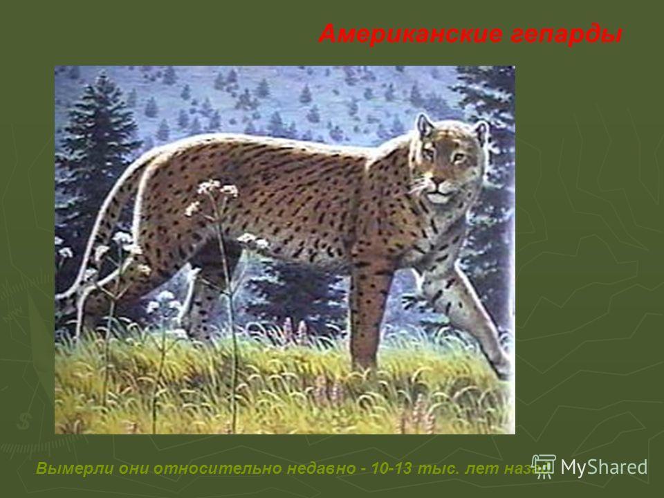 Американские гепарды Вымерли они относительно недавно - 10-13 тыс. лет назад.