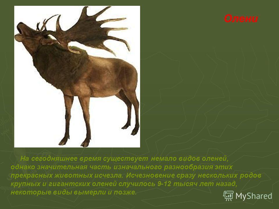 Олени На сегодняшнее время существует немало видов оленей, однако значительная часть изначального разнообразия этих прекрасных животных исчезла. Исчезновение сразу нескольких родов крупных и гигантских оленей случилось 9-12 тысяч лет назад, некоторые