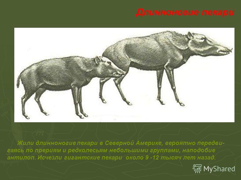 Жили длинноногие пекари в Северной Америке, вероятно пере двигаясь по прериям и редколесьям небольшими группами, наподобие антилоп. Исчезли гигантские пекари около 9 -12 тысяч лет назад. Длинноногие пекари