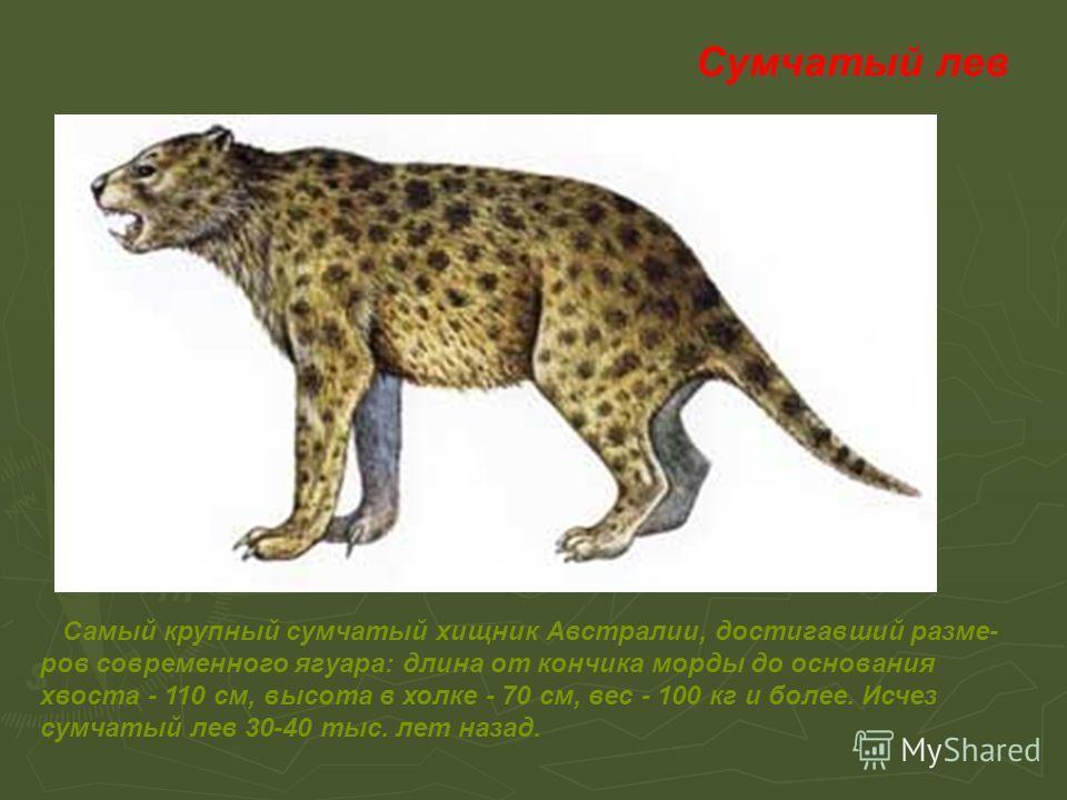 Сумчатый лев Самый крупный сумчатый хищник Австралии, достигавший размеров современного ягуара: длина от кончика морды до основания хвоста - 110 см, высота в холке - 70 см, вес - 100 кг и более. Исчез сумчатый лев 30-40 тыс. лет назад.