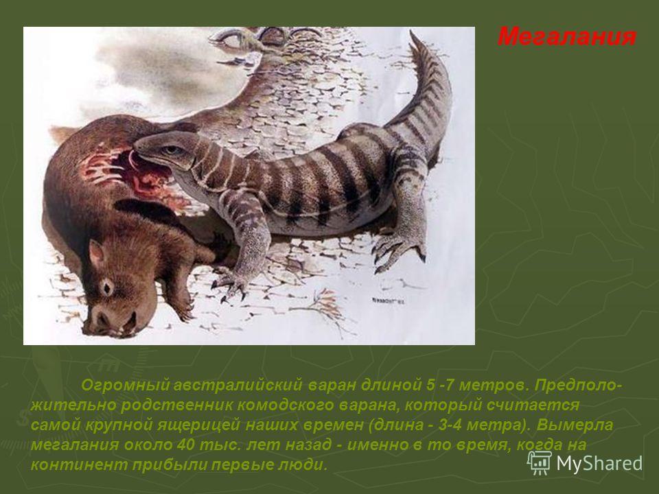 Мегалания Огромный австралийский варан длиной 5 -7 метров. Предполо- жительно родственник комодского варана, который считается самой крупной ящерицей наших времен (длина - 3-4 метра). Вымерла мегалания около 40 тыс. лет назад - именно в то время, ког
