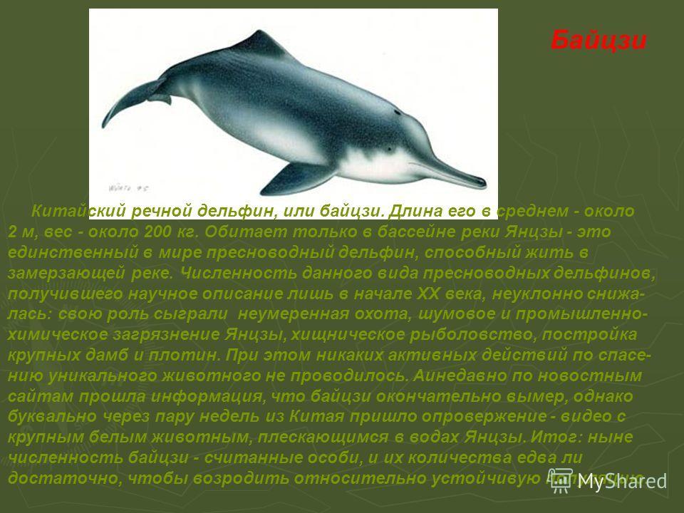 Байцзи Китайский речной дельфин, или байцзи. Длина его в среднем - около 2 м, вес - около 200 кг. Обитает только в бассейне реки Янцзы - это единственный в мире пресноводный дельфин, способный жить в замерзающей реке. Численность данного вида преснов