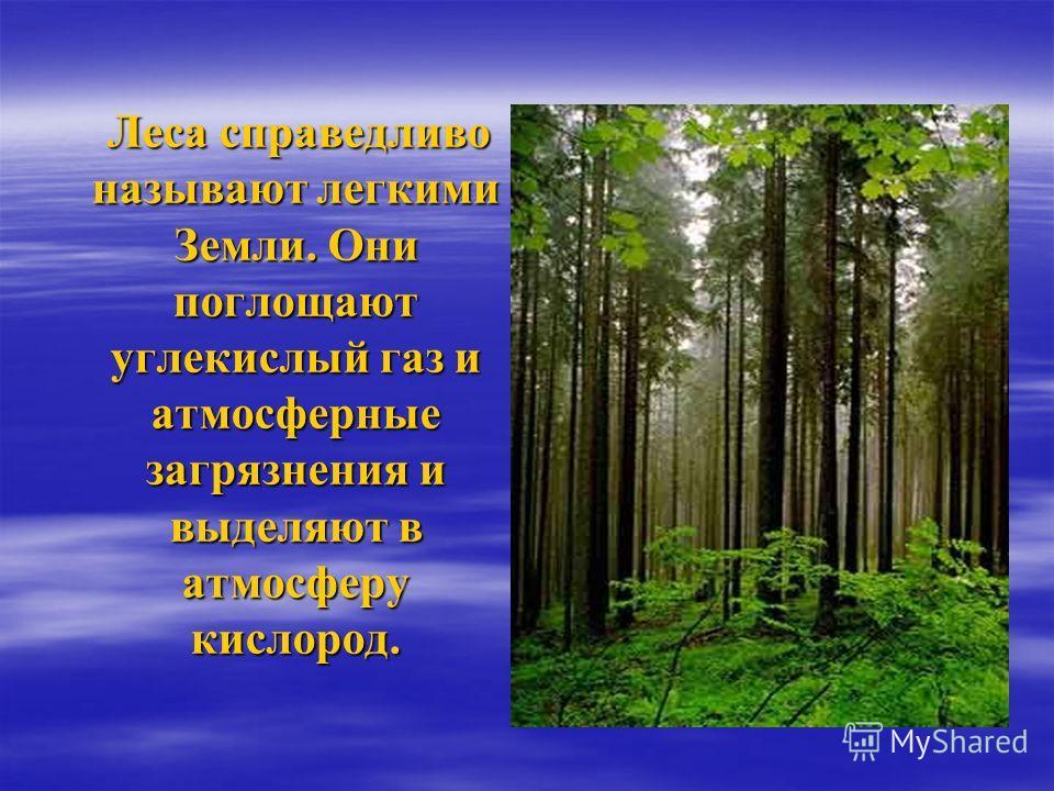 Леса справедливо называют легкими Земли. Они поглощают углекислый газ и атмосферные загрязнения и выделяют в атмосферу кислород. Леса справедливо называют легкими Земли. Они поглощают углекислый газ и атмосферные загрязнения и выделяют в атмосферу ки