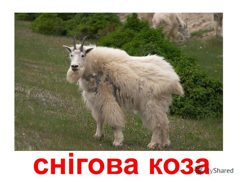 мархур (винторогий козел)