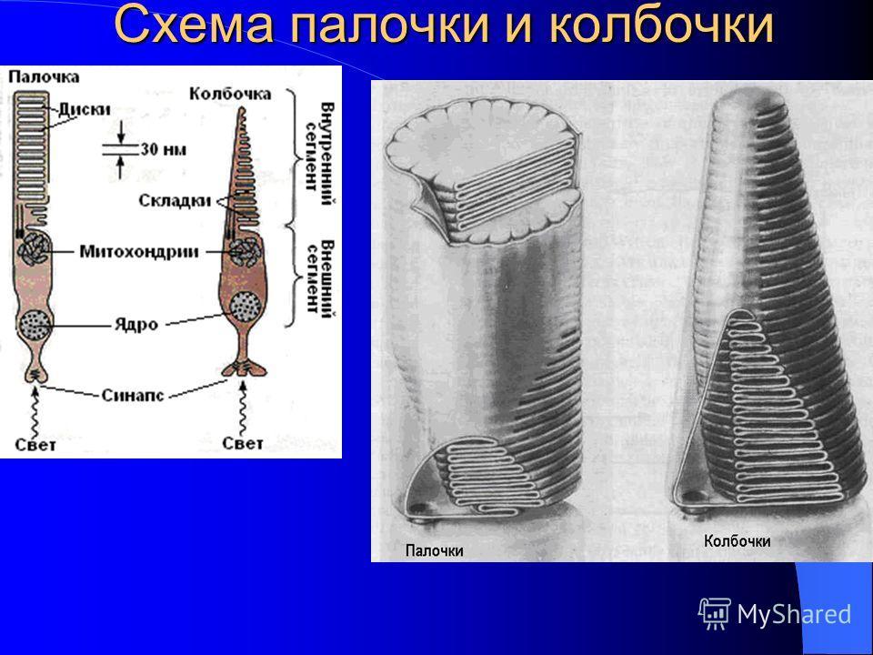 Схема палочки и колбочки