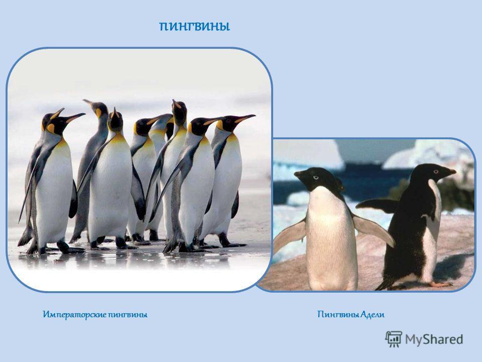 пингвины Императорские пингвины Пингвины Адели