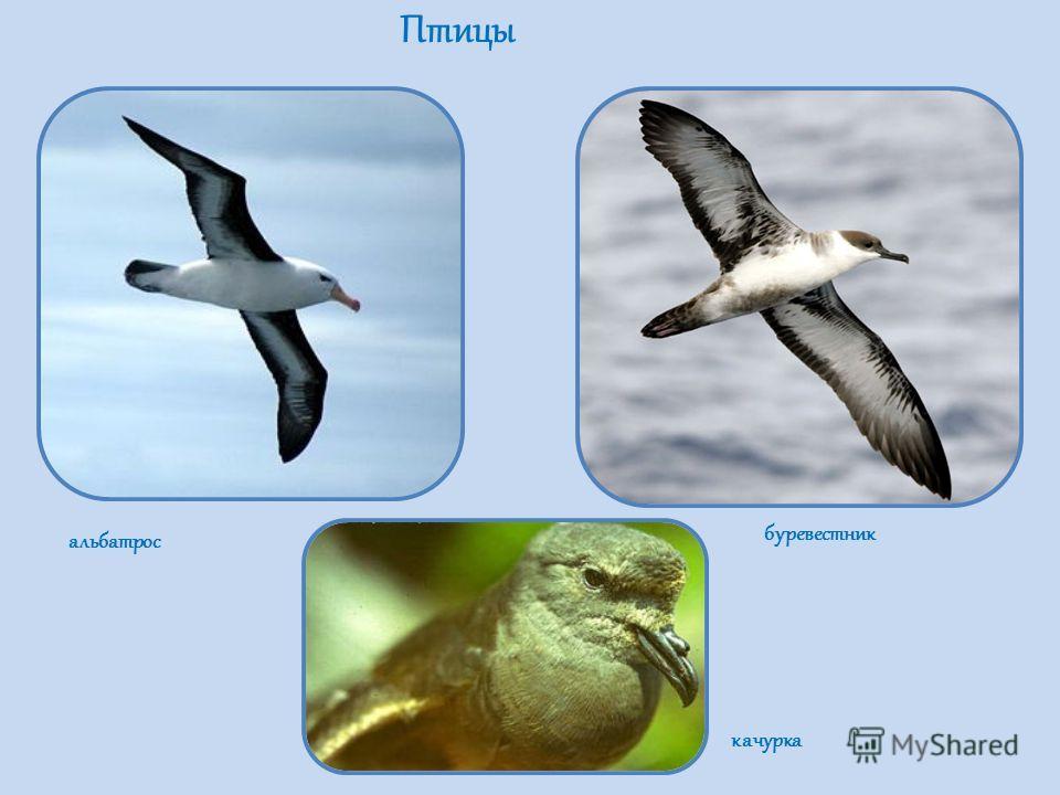 Птицы альбатрос буревестник качурка