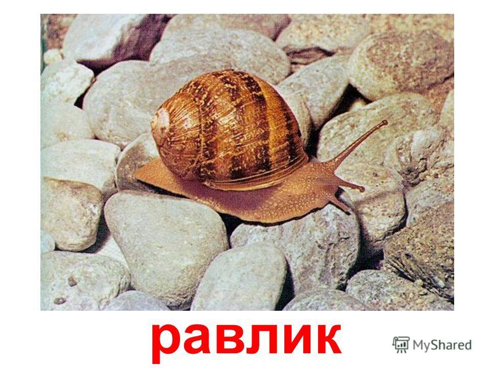 черевоногі молюски