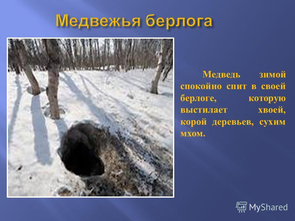 Медведь зимой спокойно спит в своей берлоге, которую выстилает хвоей, корой деревьев, сухим мхом.