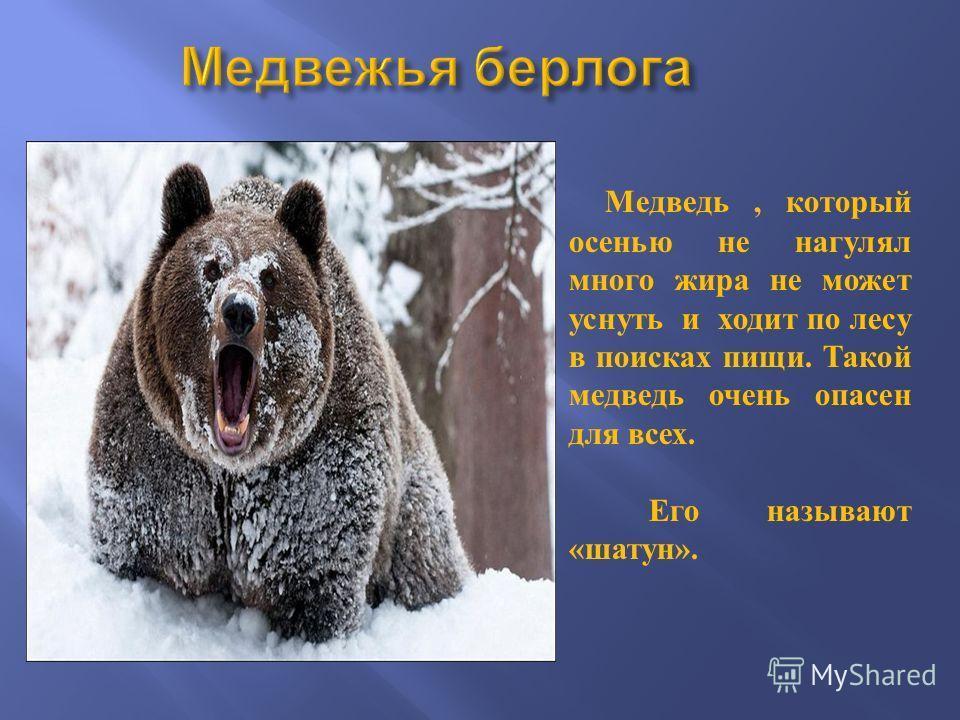 Медведь, который осенью не нагулял много жира не может уснуть и ходит по лесу в поисках пищи. Такой медведь очень опасен для всех. Его называют « шатун ».