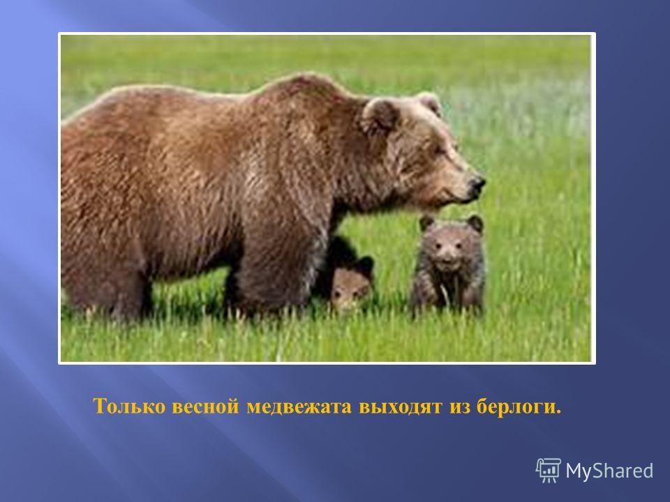 Только весной медвежата выходят из берлоги.