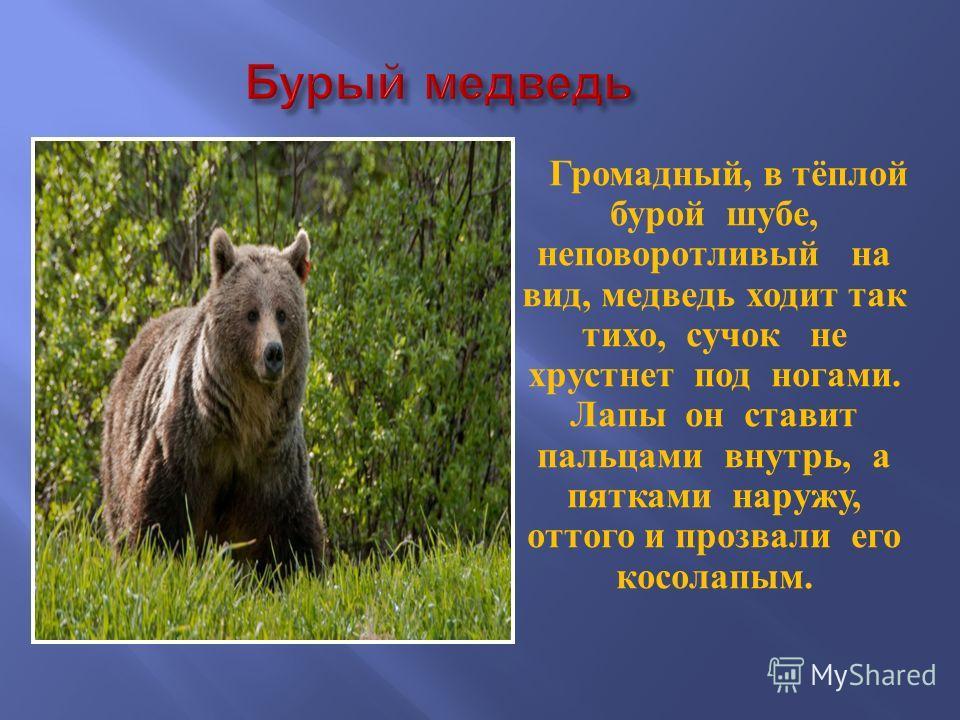Громадный, в тёплой бурой шубе, неповоротливый на вид, медведь ходит так тихо, сучок не хрустнет под ногами. Лапы он ставит пальцами внутрь, а пятками наружу, оттого и прозвали его косолапым.