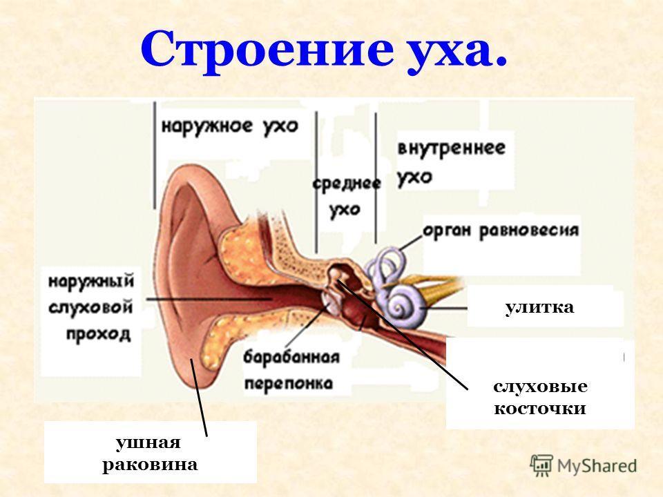Строение уха. ушная раковина улитка слуховые косточки