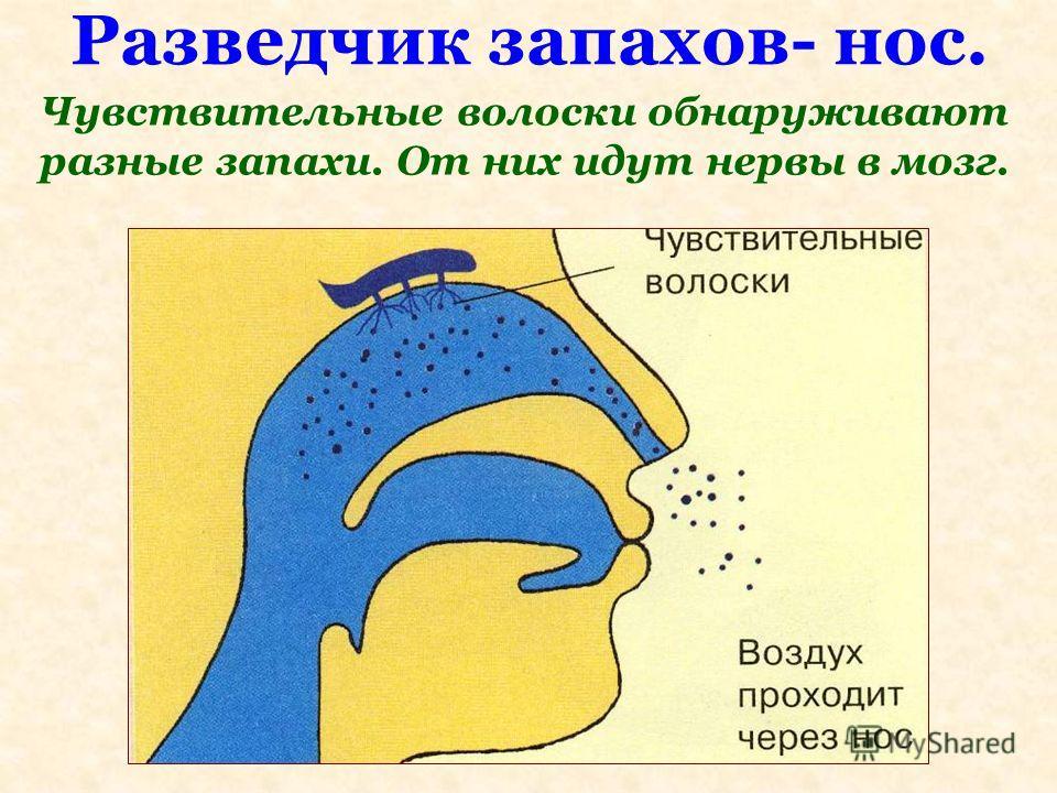 Разведчик запахов- нос. Чувствительные волоски обнаруживают разные запахи. От них идут нервы в мозг.