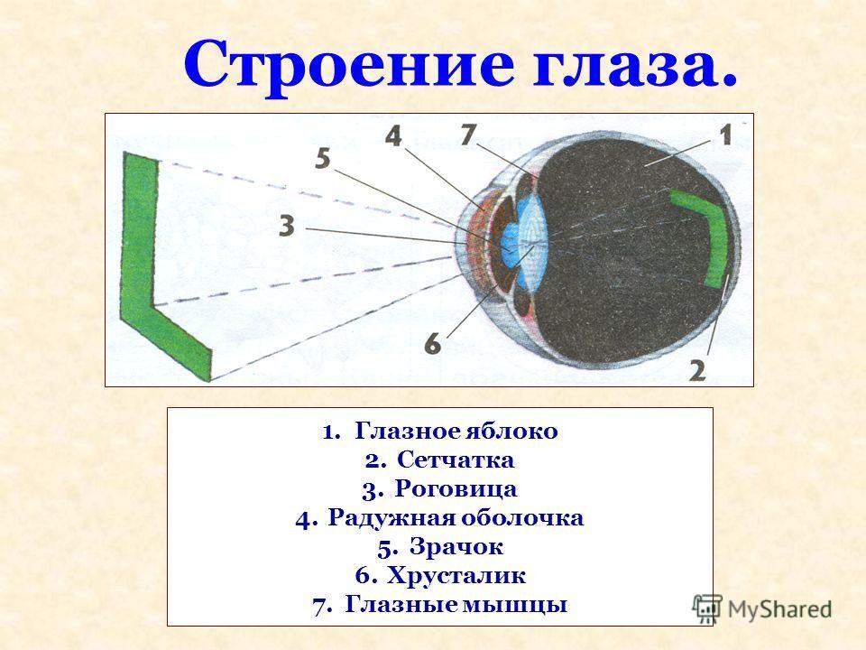 Строение глаза. 1. Глазное яблоко 2. Сетчатка 3. Роговица 4. Радужная оболочка 5. Зрачок 6. Хрусталик 7. Глазные мышцы