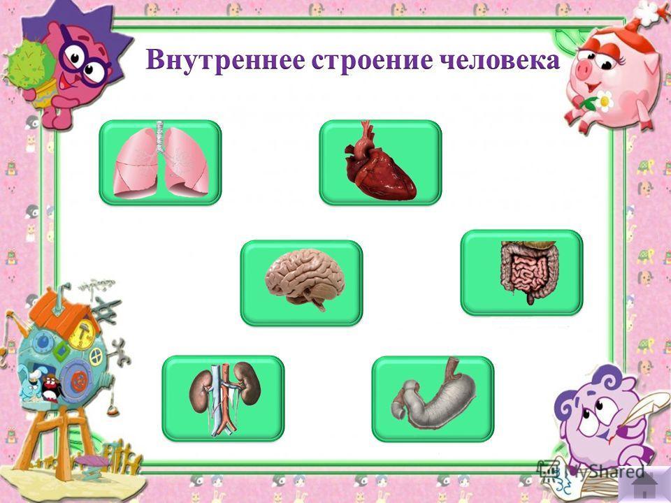 лёгкие сердце мозг кишечник почки желудок