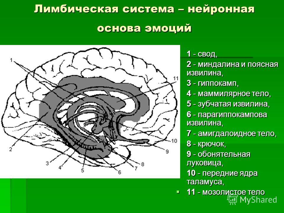 Лимбическая система – нейронная основа эмоций 1 - свод, 1 - свод, 2 - миндалина и поясная извилина, 2 - миндалина и поясная извилина, 3 - гиппокамп, 3 - гиппокамп, 4 - маммилярное тело, 4 - маммилярное тело, 5 - зубчатая извилина, 5 - зубчатая извили