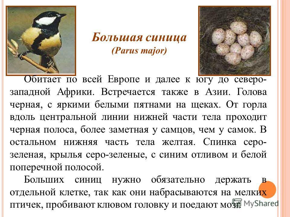 Большая синица (Parus major) Обитает по всей Европе и далее к югу до северо- западной Африки. Встречается также в Азии. Голова черная, с яркими белыми пятнами на щеках. От горла вдоль центральной линии нижней части тела проходит черная полоса, более