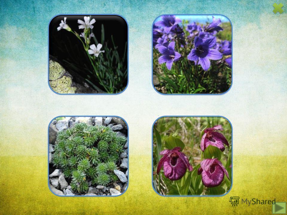 качим уральский крупко колокольчик волосисто- цветковый колокольчик волосисто- цветковый крупно- цветковый башмачок крупно- цветковый башмачок