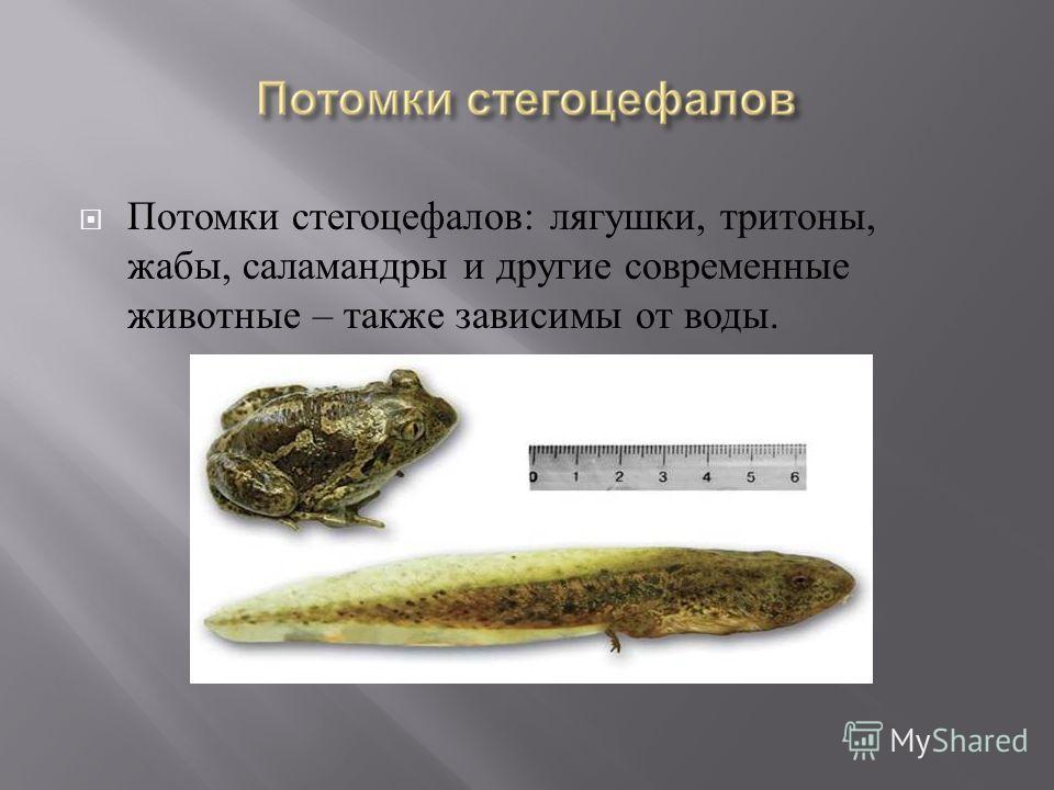 Потомки стегоцефалов : лягушки, тритоны, жабы, саламандры и другие современные животные – также зависимы от воды.