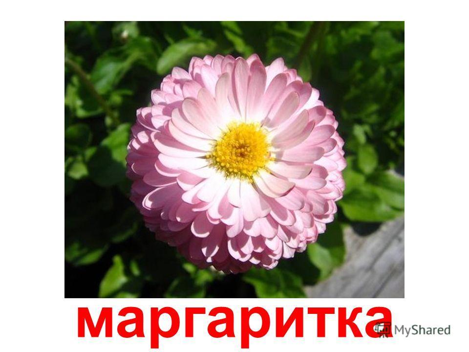 красоля (капуцин)