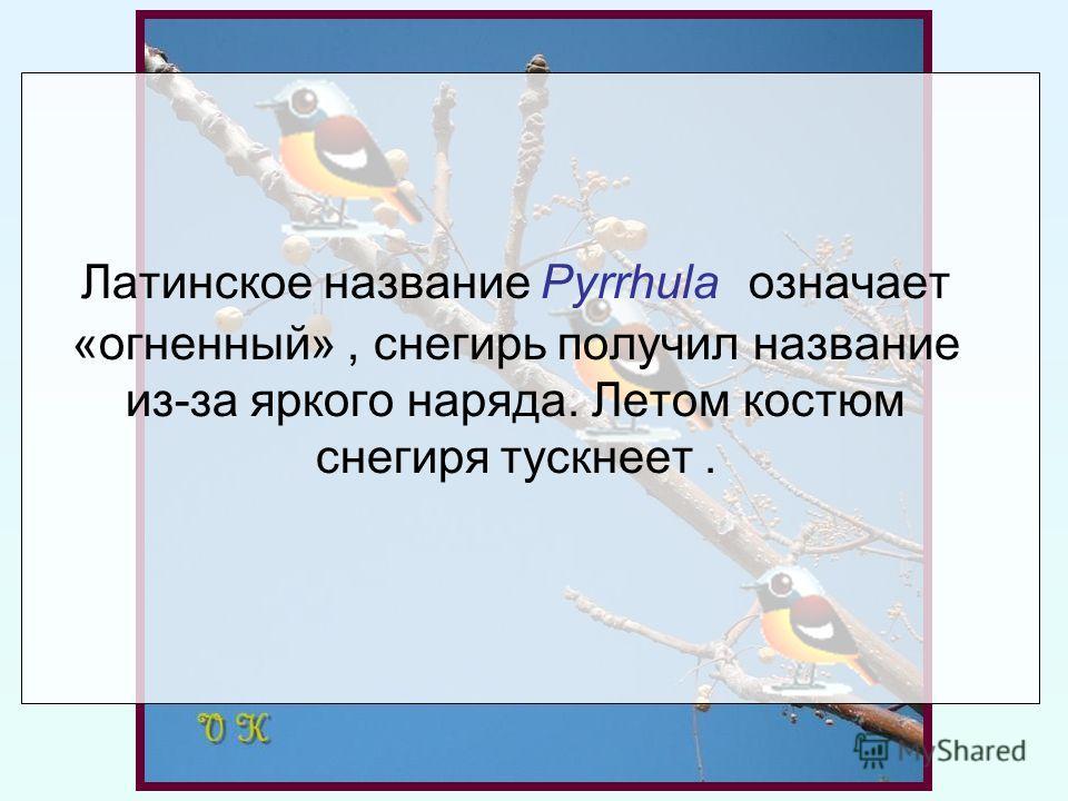 Латинское название Pyrrhula означает «огненный», снегирь получил название из-за яркого наряда. Летом костюм снегиря тускнеет.